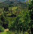 Antico Borghetto di Tigliano-Vineyard